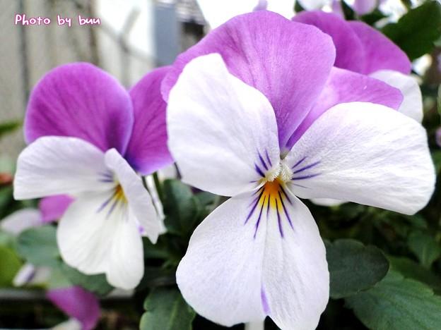 Photos: 白のドレス‥ちょっと紫