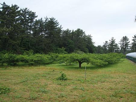 庄内柿の木