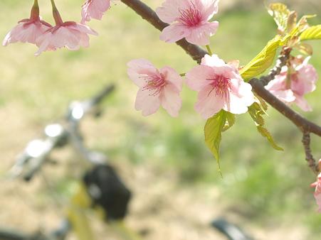 美和桜20120314_1