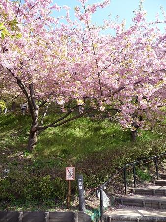 120329-松田山 河津桜 (8)