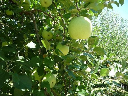 110906-浜松フルーツパーク リンゴ (5)