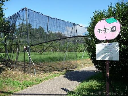 110906-浜松フルーツパーク モモ