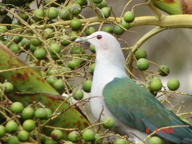 Green Imperial Pigeon2385
