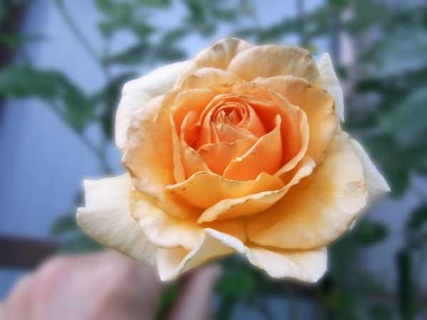 香りで決めるバラ