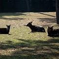 Photos: 奈良公園の鹿20111229