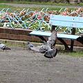 平和公園・鳩03-11.09.22