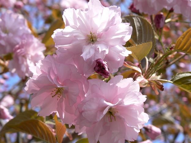 桜P1010454