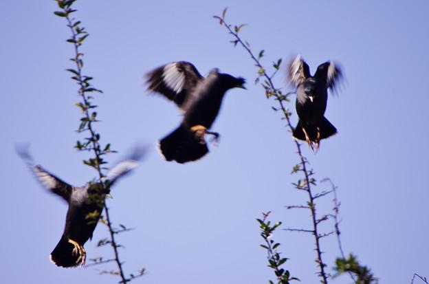 八哥鳥、逃げる。