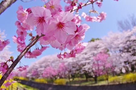 桜・昭和記念公園。