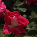 写真: 201105flower 344