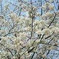 Photos: 桜1