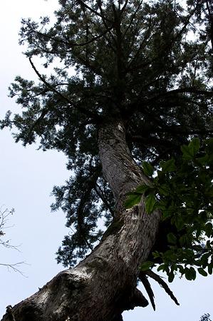 白谷雲水峡の木その9
