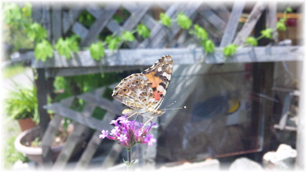 Painted Lady♪