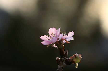 2011.12.07 和泉川 桜