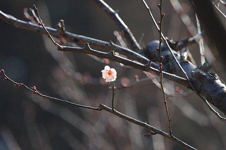 2012.02.13 大池公園 白梅一輪
