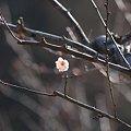 Photos: 2012.02.13 大池公園 白梅一輪