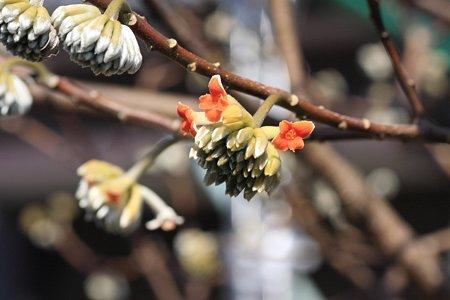 2012.02.27 和泉川 アカバナミツマタ