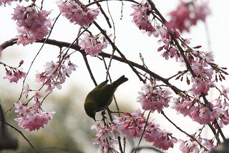 2012.04.06 和泉川 メジロ