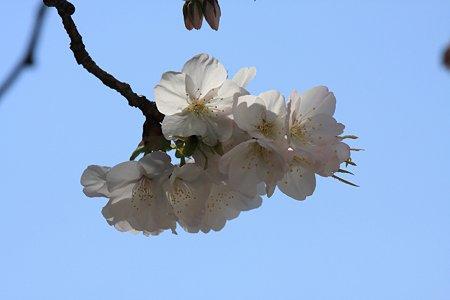 2012.04.09 大岡川桜のプロムナード 都橋たもとの桜