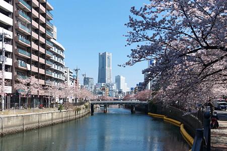 2012.04.09 大岡川桜のプロムナード 末吉橋付近