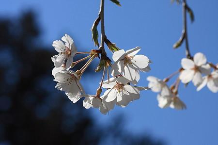 2011.04.06 入生田 長興山紹太寺 しだれ桜