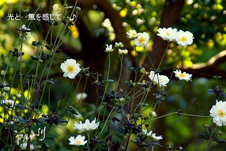 秋明菊・・