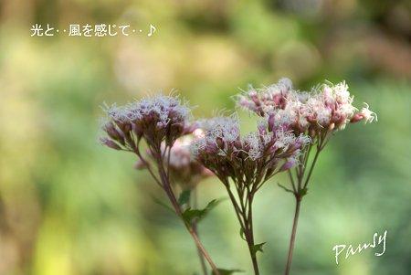 藤袴(ふじばかま)・・