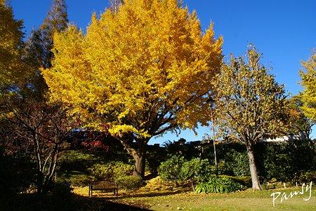 青空と・・イチョウの樹と・・ベンチのある風景・・