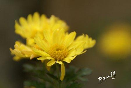 真冬の菊・・2