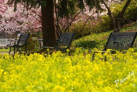 菜の花とベンチと・・桜咲く風景