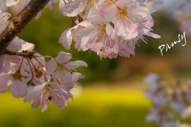 さくら・・「春めき」2