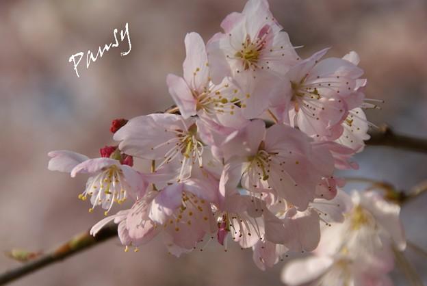 さくら・・「春めき」3