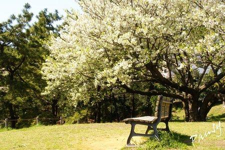 桜景色・・4