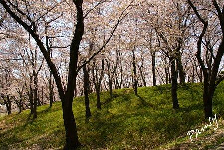 桜景色・・7