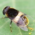 オオハナアブでした。マルハナバチ?花粉を払い落とす