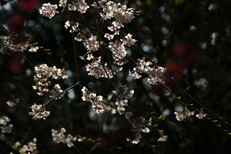 しだれ桜と紅梅!(110402)