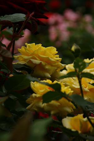 春バラ(黄色)まつり!(110521)