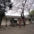 写真: 桜 (4)