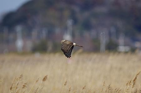 ハイイロチュウヒ♀の飛翔
