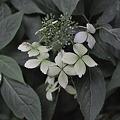 ノリウツギ(糊空木)ユキノシタ科