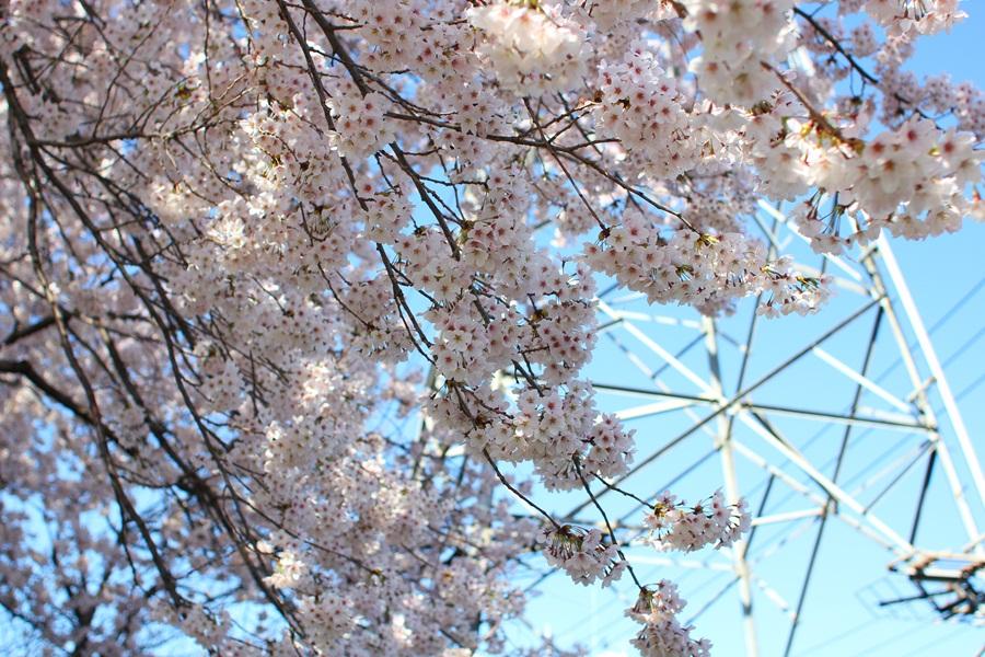 駐輪所の桜 (北八王子)