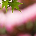 Photos: 桃色と楓