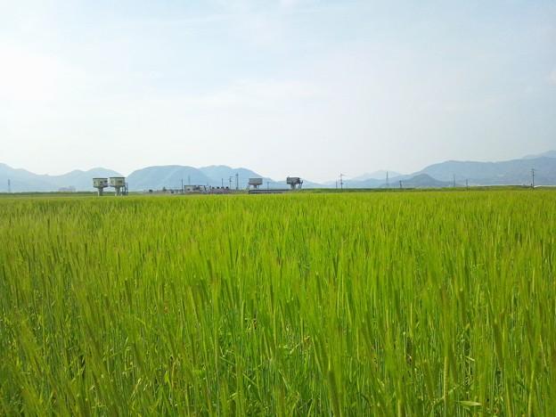 筑紫平野の麦畑