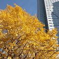 写真: 111210 (3) 黄葉
