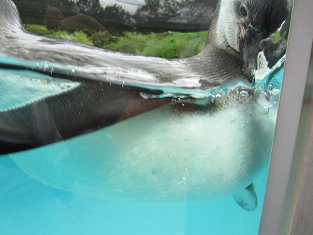 フンボルトペンギン (7)