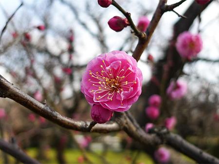 まだ早い舞鶴公園の梅(1)