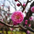 Photos: まだ早い舞鶴公園の梅(1)