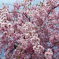 志高湖の桜(8)