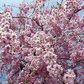 Photos: 志高湖の桜(8)