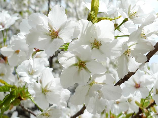 Photos: 志高湖の桜(11)